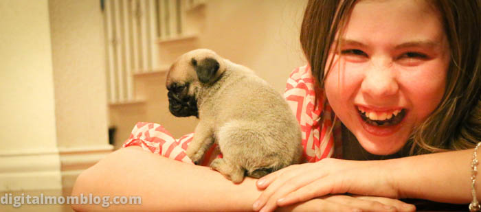 pug puppy photo – guy our new dog
