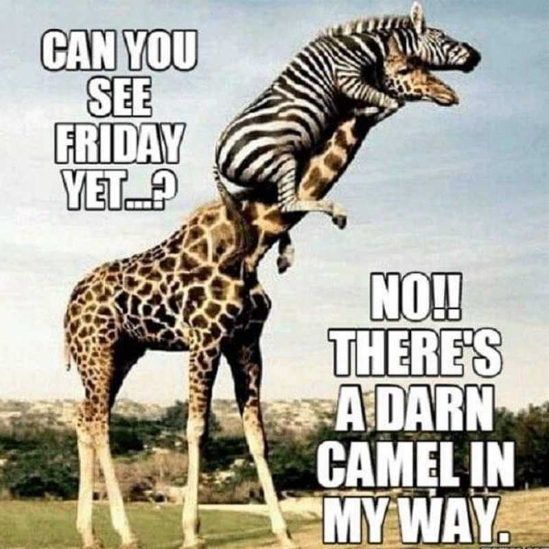 Hump day meme camel in the way