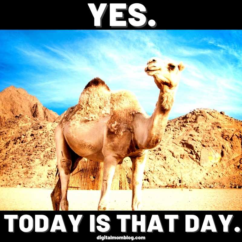 today is hump day camel image