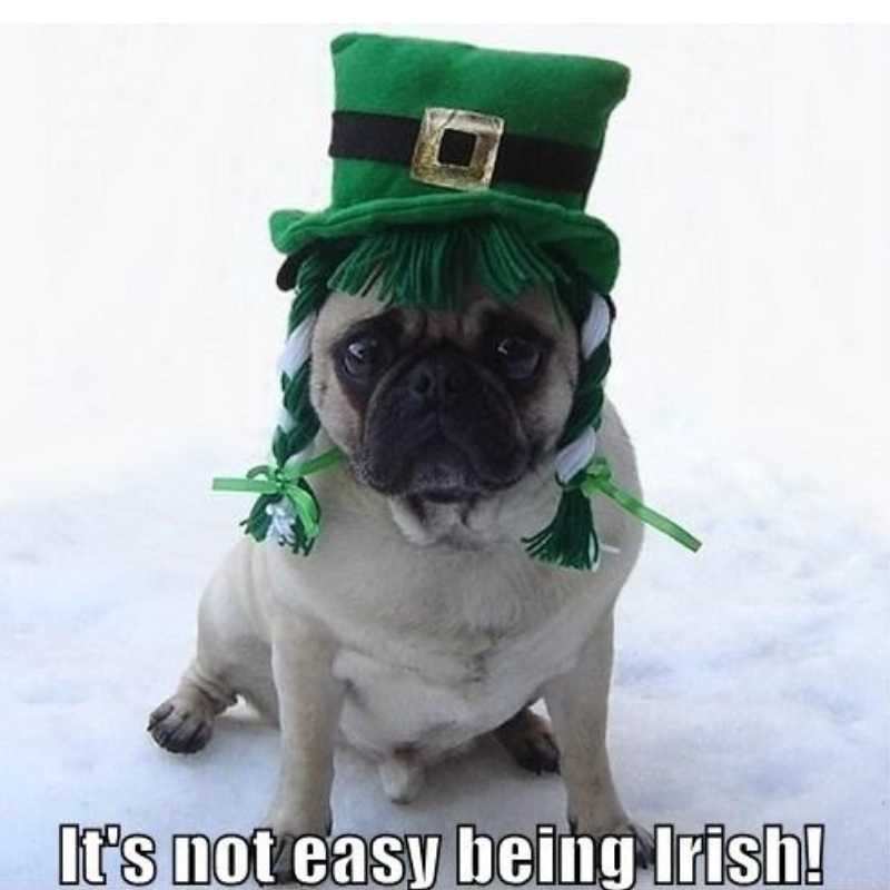 Its not easy being an irish pug - st patricks day meme humor